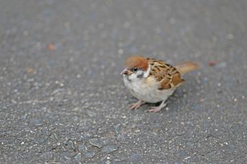 スズメ -sparrow-
