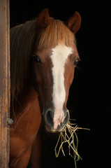 Chestnut pony looking out the stable