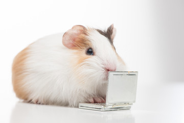one hamster closeup isolated on white.