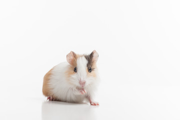 Hamster with lifted pad on white background.