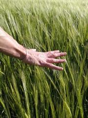 Mano acariciando el trigo