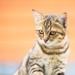 Asian brown cat