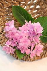 Hydrangea, Flowerpower in Summer