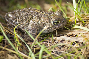 Natterjack Toad Laying Low in Grass