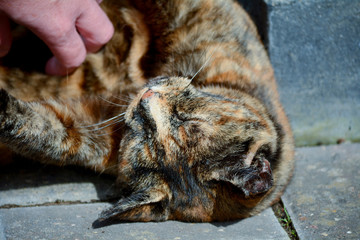 Tortoiseshell cat being stroked