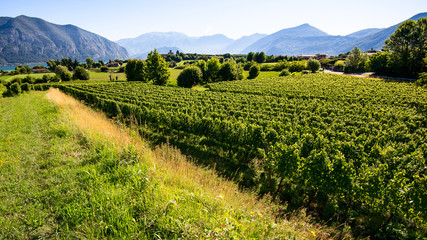 vineyard at d'Iseo lake