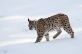 Lynx on the snow background while looking at you