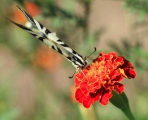 swallowtail on flower