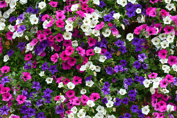 Floral background of colorful petunias