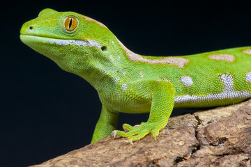 Green gecko / Naultinus grayii