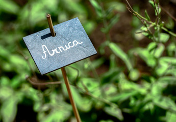 Arnica name board fastened on a stick in the garden