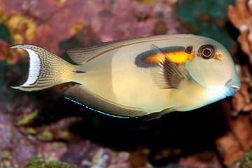 Orange band Surgeonfish (Acanthurus olivaceus) marine fish