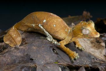 Leaf-tailed gecko / Uroplatus phantasticus