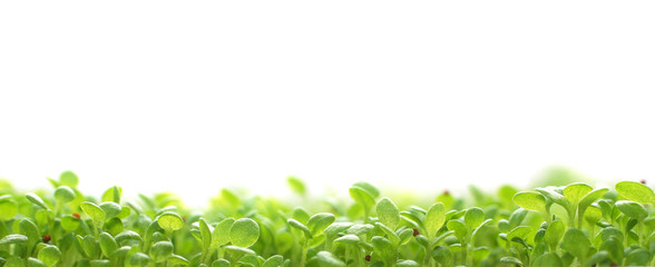 seedlings, grass, plant isolated on white background