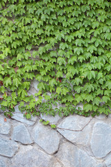 Parthenocissus tricuspidata, background