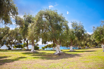 Beautiful panoramic view on olive grove , Greece.
