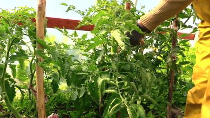 countrywoman hand bind large tomato bush to stick