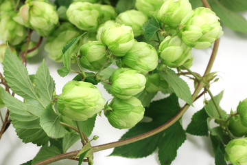 branch of green hop cones on a white background