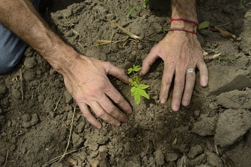 male hands planting a small sprout