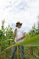 Organic farmer showing corn inside the plantation