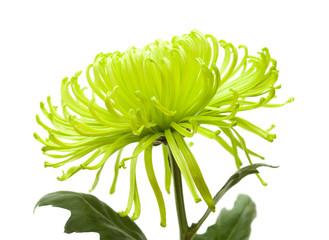 green chrysanthemum isolated