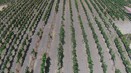 Aerial view of California vineyards