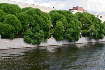 Willow fragile (Salix fragilis L. ) growing along Moika River Em