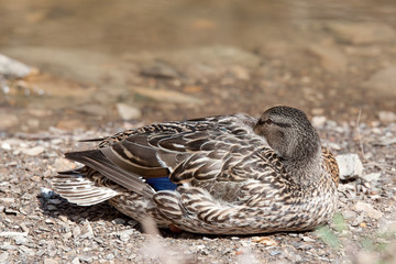 Duck napping on beach