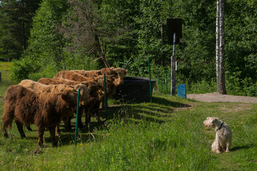 Cow vs dog 1
