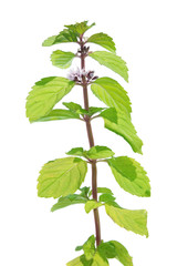 Wild mint (Mentha arvensis) isolated on white