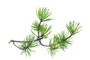 Pine branch (Pinus contorta) isolated on white