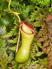 Monkey cup pitcher - Nepenthes cultivar