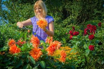 Frau schneidet Dahlien im Garten