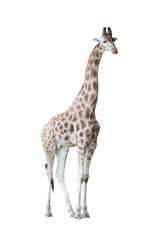 Giraffe isolated on white background with clipping path
