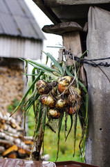 Drying onion harvest in the country