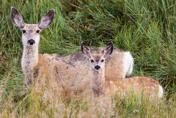 Mule deer doe with a spotted fawn