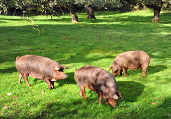 Iberian pigs in the meadow