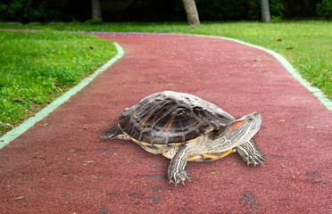 Red ear turtle outdoors