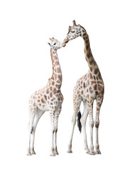 Two standing giraffes