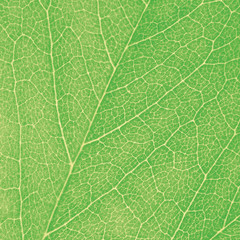 Green Leaf Macro Textured Closeup, Large Detailed Abstract