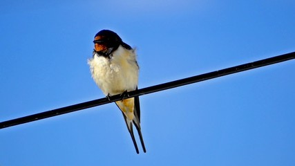 Swallow bird sit on electricity cable, blue sky background