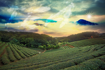 Beautiful tea garden sunset