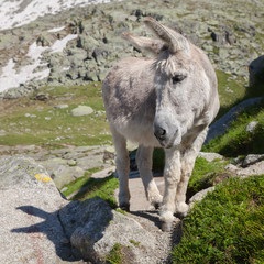 The grey donkey on stone
