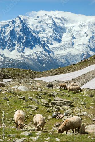 Staande foto Schapen Sheeps feed on alpine meadow in sunlight day
