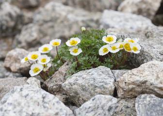 Flowers of Alpine Buttercup - Ranunculus alpestris