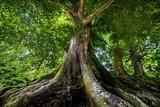 Fototapety big old tree
