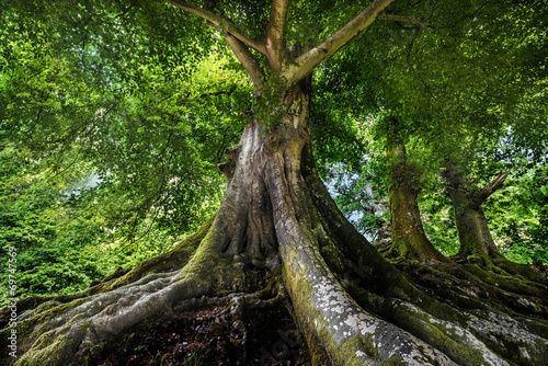canvas print picture big old tree