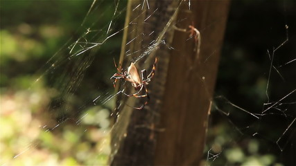 Two Banana Spiders Sharing a Meal