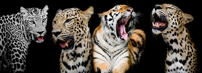 Collection of portraits of Tigers and Leopard.(And you could fin