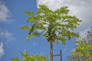 papaya on a tree ready for harvest